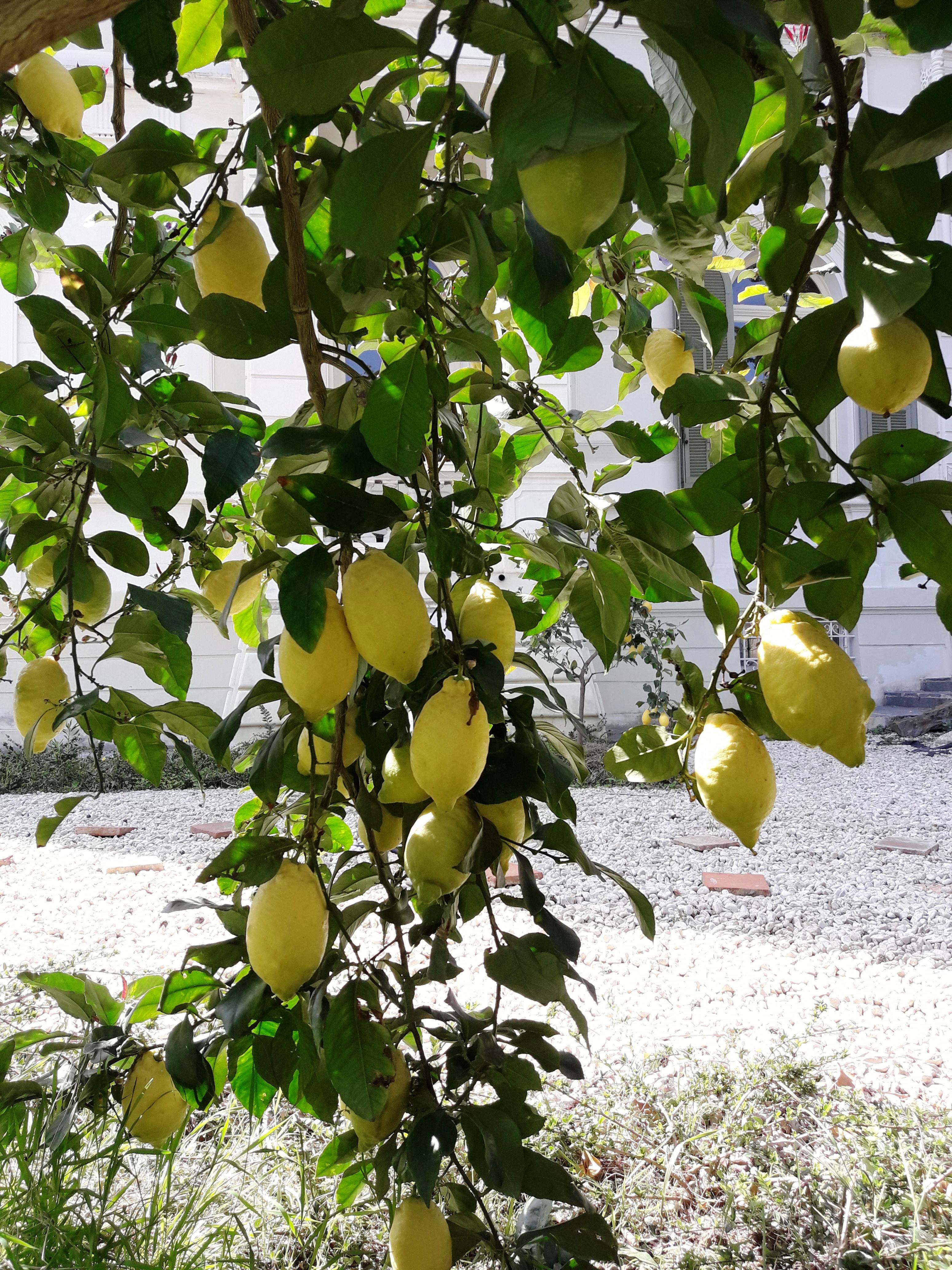 Ancora sui limoni...