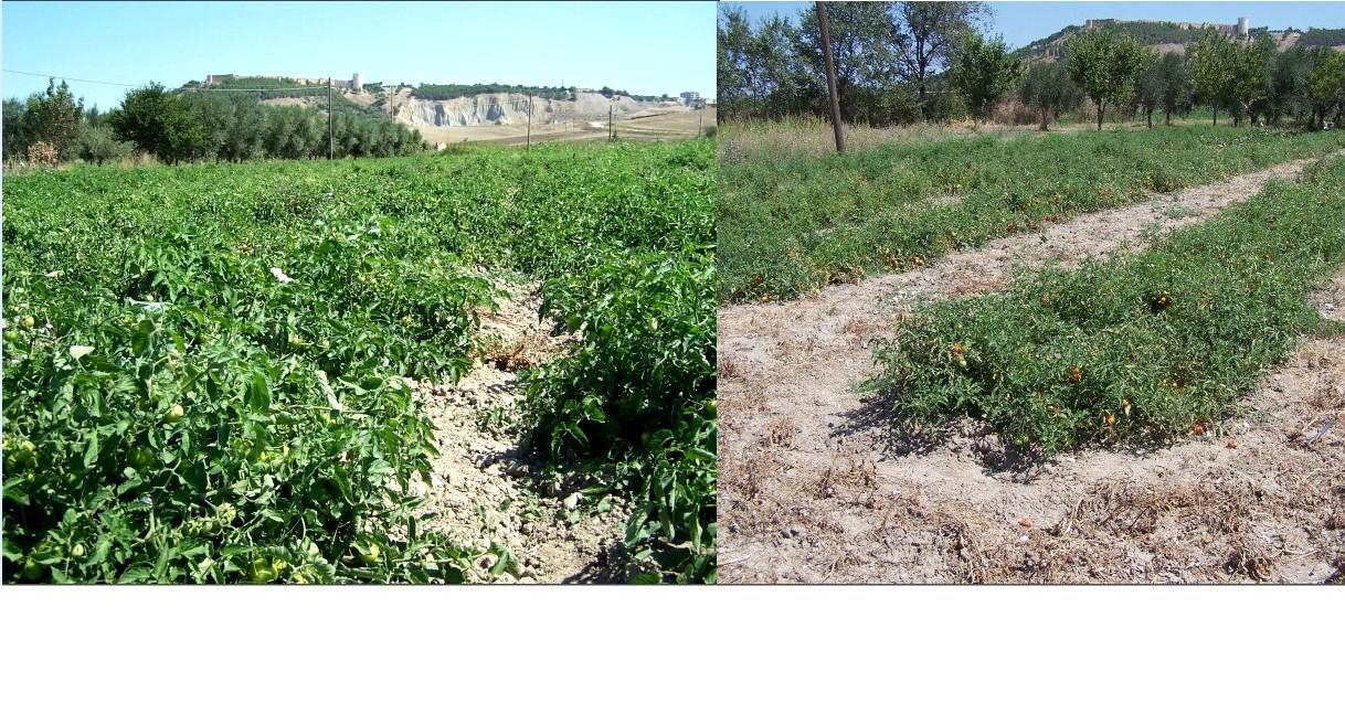 Comparazione tra piantagione pomodori trattata e non.
