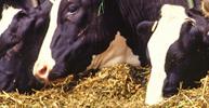 Utilizzo della Tecnologia EM® per l'Alimentazione e la pulizia del Bestiame