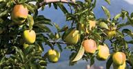 Utilizzo della Tecnologia EM® in Frutticoltura